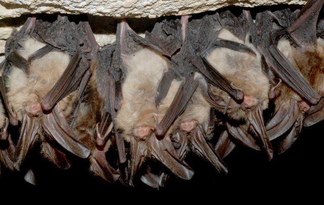 Healthy Virginia big-eared bats. Bats are fascinating animals that are vital for a health environment, eating tons of insects nightly, benefiting our crops, our forests and us. via Craig Stihler / WVDNR