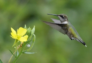 Here's the real deal - a ruby-throated hummingbird. Credit: Bill Thompson/USFWS
