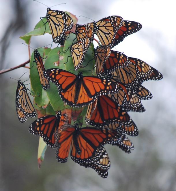 More monarchs feeding at Rachel Carson! Credit: David Tibbetts