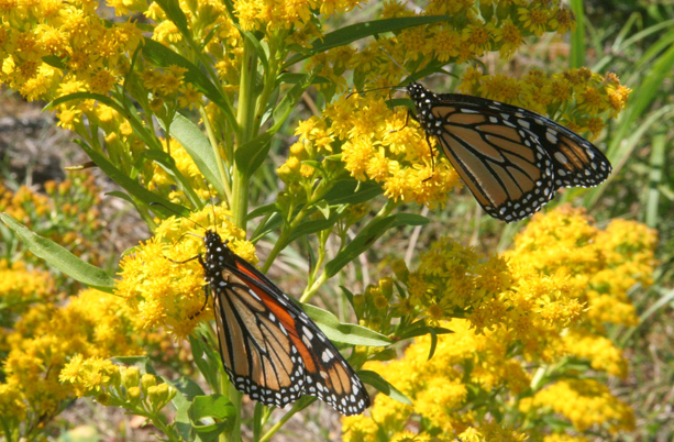 Monarchs feedings at Rachel Carson NWR. Credit: David Tibbetts