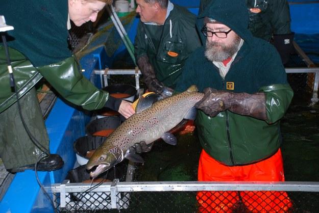 USFWS staff at the Craig Brook National Fish Hatchery spawn sea-run Atlantic salmon. Photo credit: Peter Steenstra, USFWS