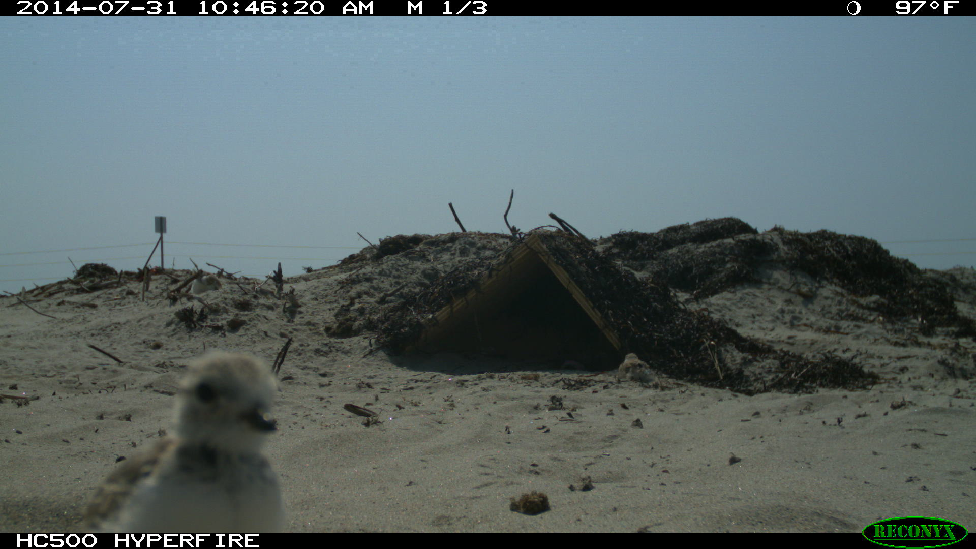Plover chicks caught on trail camera