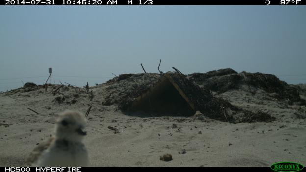 Plover chicks caught on trail camera