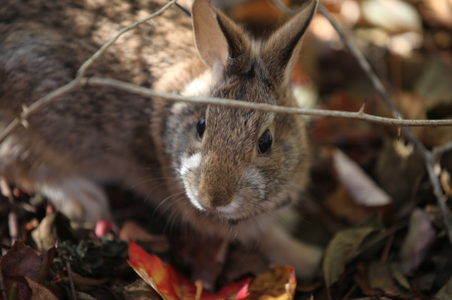 The New England cottontail – New England's only native cottontail – has suffered significant declines and is a candidate for listing under the Endangered Species Act. Credit: Tom Barnes/USFWS