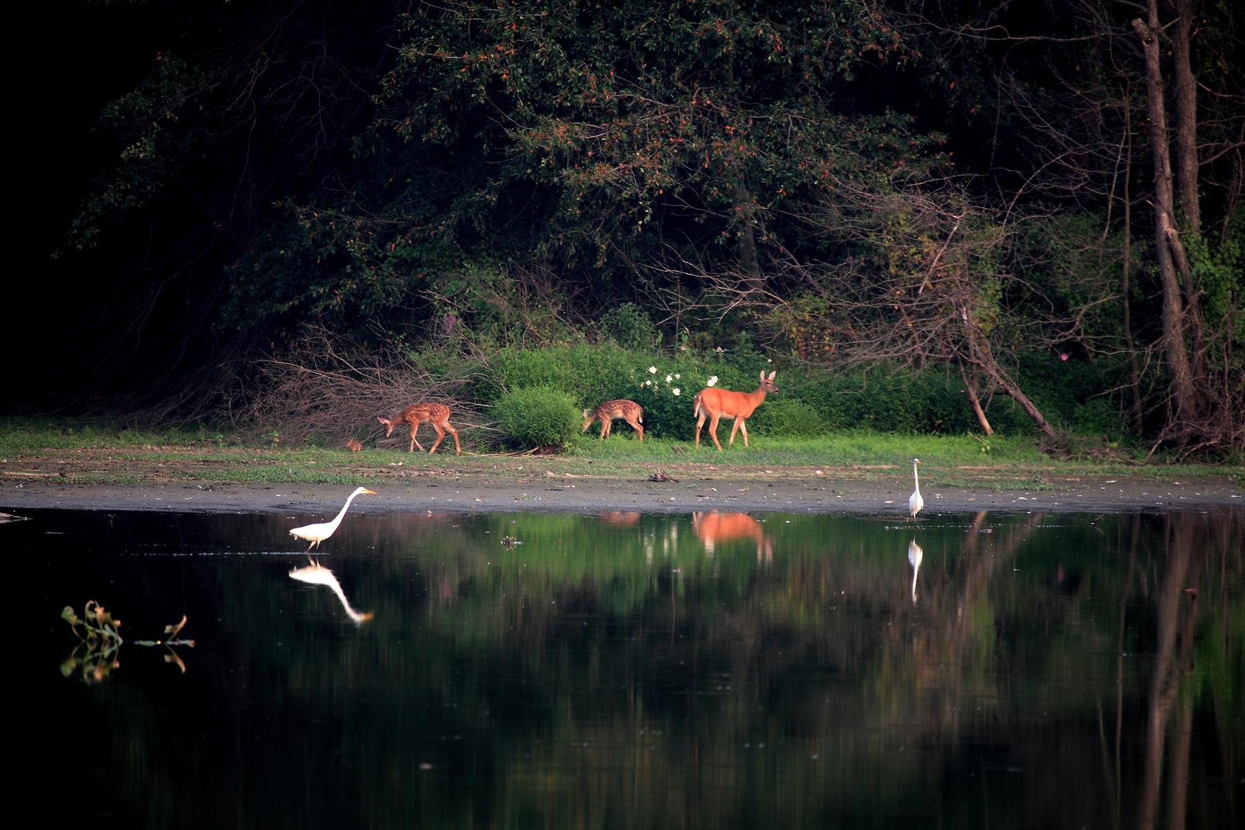 Deer and egrets at John Heinz National Wildlife Refuge in Philadelphia, Pennsylvania.     Credit: Ron Holmes/USFWS