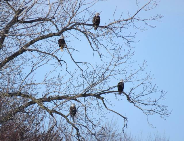 Bald eagles are easier to see perched in the trees this time of year. Credit: Jessica Bolser/USFWS