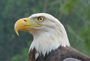 Bald eagle closeup. Credit: Bruce Hallman/USFWS