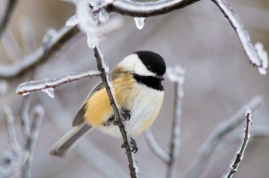 The Black-capped Chickadee is a common winter species.