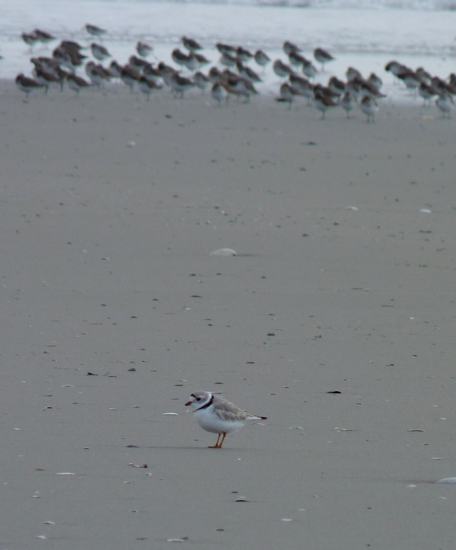 A piping plover at Stone Harbor Point with dunlins in the background. Photo from Creative Commons, Flickr user John Beetham.