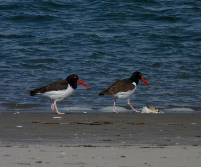 American oystercatchers at Stone Harbor Point. Photo from Creative Commons, Flickr user John Beetham.