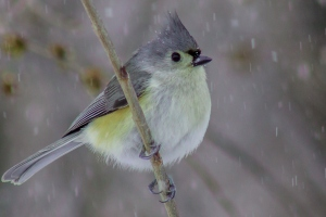 Tufted Titmouse is a hardy winter species often found at backyard bird feeders.