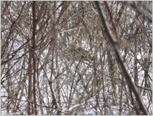 Can you spot the New England cottontail? Credit: Tony Tur/USFWS