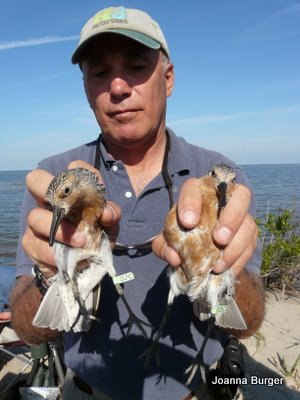 Larry Niles holding two red knots. Photo courtesy of his blog, arubewithaview.com.