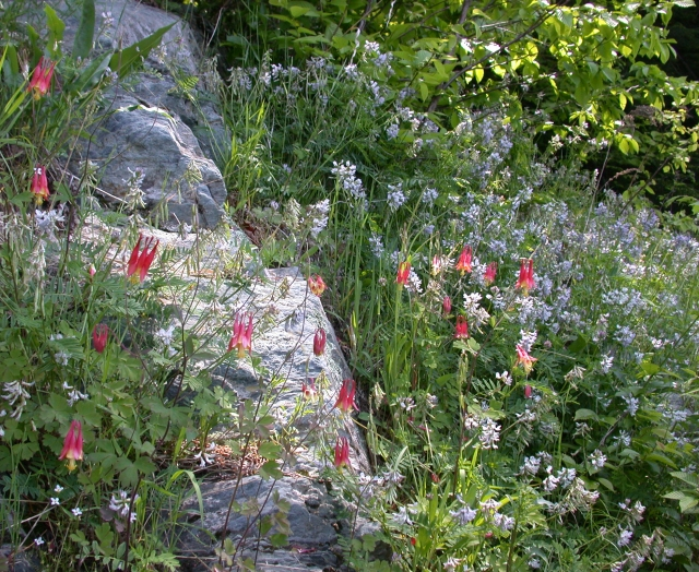 Blooming Jesup's milk vetch alongside red columbine. The endangered plant clings by its small roots to silt-filled crevices in steep rock outcrops. Credit: Sarah Cairns for the NH Natural Heritage Bureau