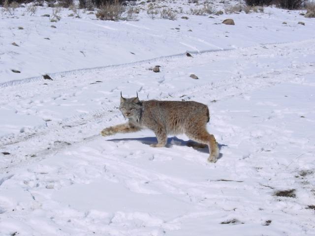 Canada lynx. Credit: USFWS