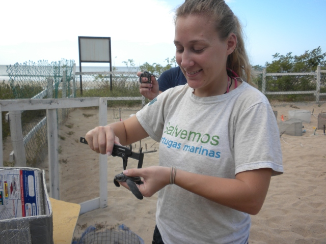 Amber measures a leatherback sea turtle hatchling in Costa Rica in 2014. Photo courtesy of Amber.