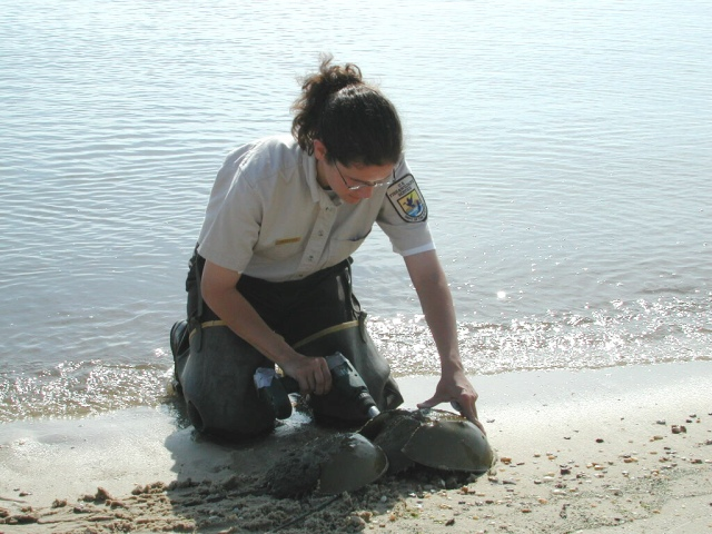 Sheila tagging female horseshoe crabs at Bowers Beach, Delaware. Photo credit: Robert H. Pos/USFWS
