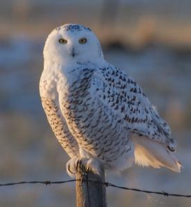 Snowy Owl, David Mitchell