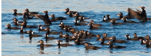Raft of Surf Scoters