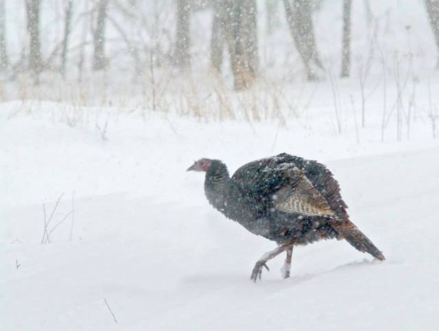 If turkeys can't find food on the ground through two-to-three feet of snow, they will spend most of their time up in the trees roosting. Credit: USFWS