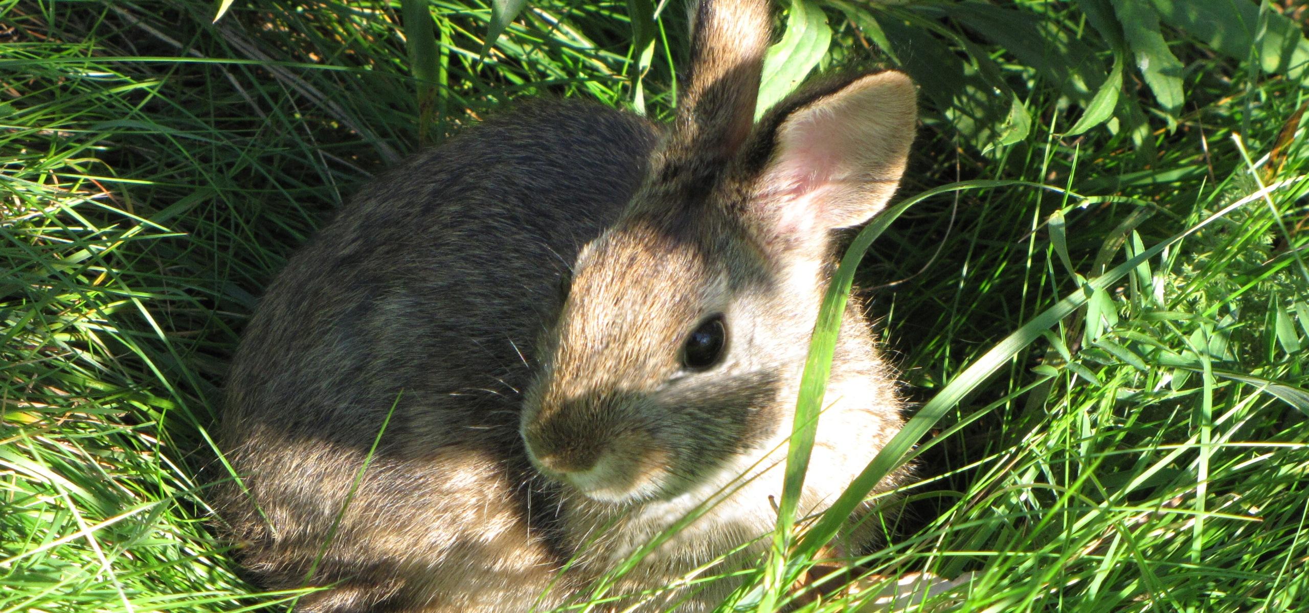 Cottontail rabbit habitat - photo#17