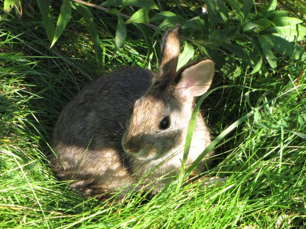 Here comes Peter Cottontail, hopping down the bunny trail... Credit: USFWS
