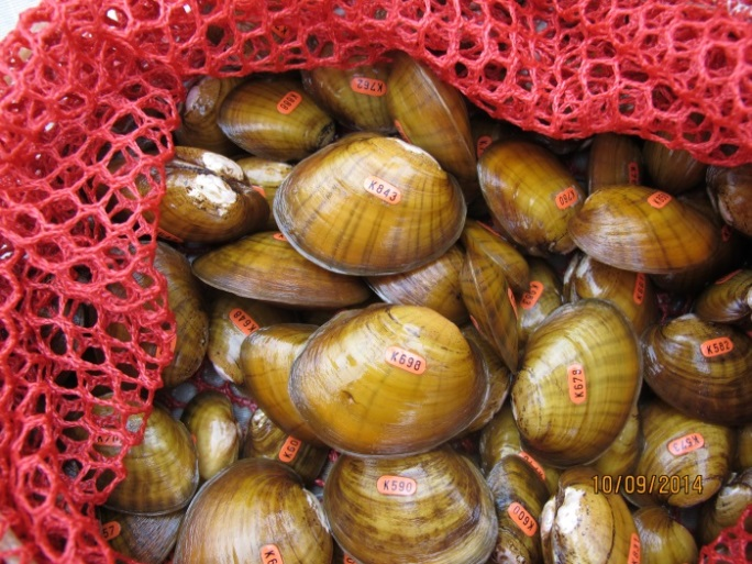 Endangered juvenile pink mucket pearlymussels from 2014. This freshwater mussel is found in just two of the states in our Northeast Region - West Virginia and Virginia. Credit: USFWS