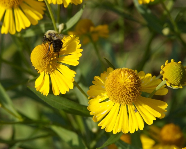 Common sneezeweed is a native plant that flowers from July to November and will grow in woods, swamps, meadows and other areas. Photo from Dan Mullen in Flickr Creative Commons.