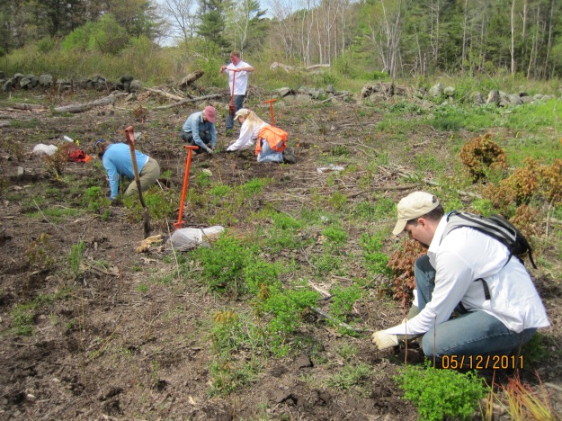 Spring is a great time to give back to nature. We're looking for volunteers to help with plantings in New England cottontail habitat. Credit: USFWS