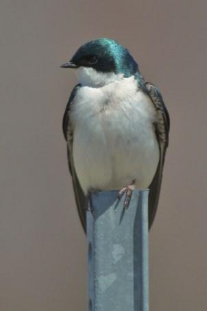 Tree swallow at Missisquoi National Wildlife Refuge. Credit: Ken Sturm/USFWS