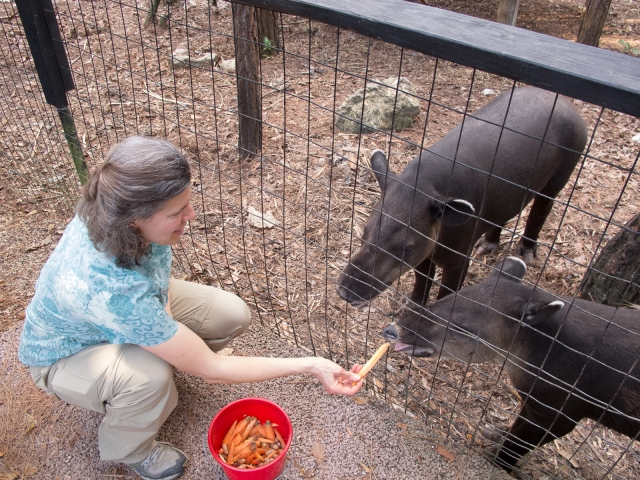 Feeding Baird's tapir at the Belize Zoo. Photo courtesy of Molly.