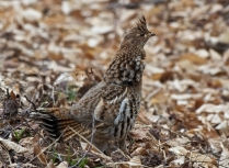 Ruffed grouse Photo credit: Ched Bradley/USFWS