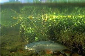 atlantic-salmon-credit-usfws-e1433184205471