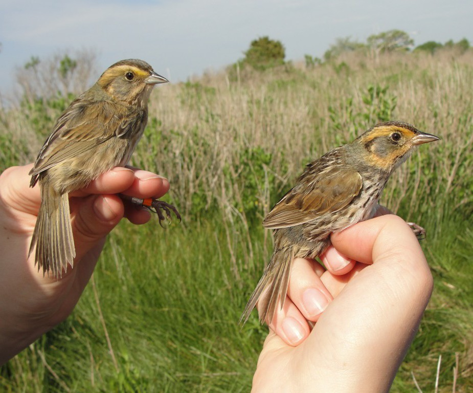 A Nelson's sparrow and a saltmarsh sparrow at Barn Island in Conn.  Credit: Chris Elphick/Associate Professor of Ecology and Evolutionary Biology