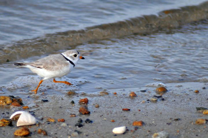 What does climate change mean for piping plover and other Regional Species of Greatest Conservation Need (RSGCN)? A new report provides strategic guidance for resource managers in the Northeast to address climate-related management issues in their wildlife action plans. Credit: Amanda Boyd/US Fish and Wildlife Service
