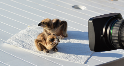 The osprey chicks are healthy and ready to be relocated.  (Photo credit: Chesapeake Conservancy.)
