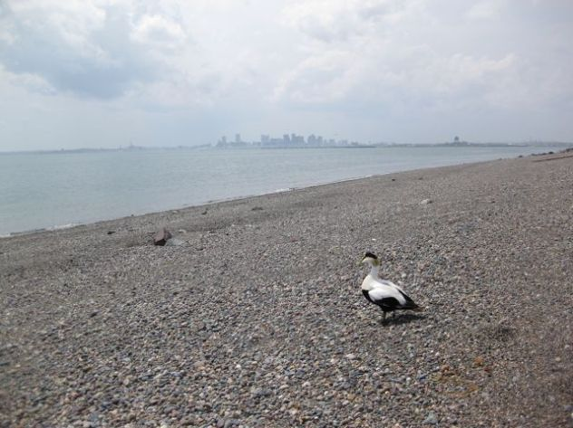 A male American common eider is released at Deer Island, with the Boston skyline in the background.