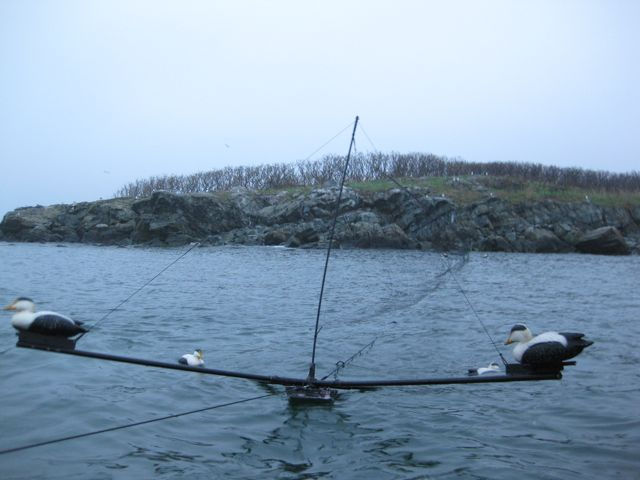 This mist net with decoys on each end was set up in the pre-dawn hours to capture American common eider in Boston Harbor.