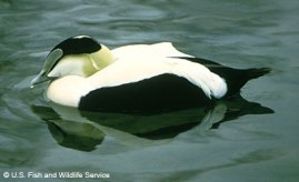 A male American common eider. (Photo credit: USFWS.)
