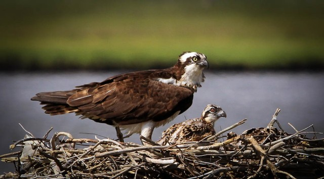 Osprey are among the many that appreciate when you properly dispose of your fishing line!