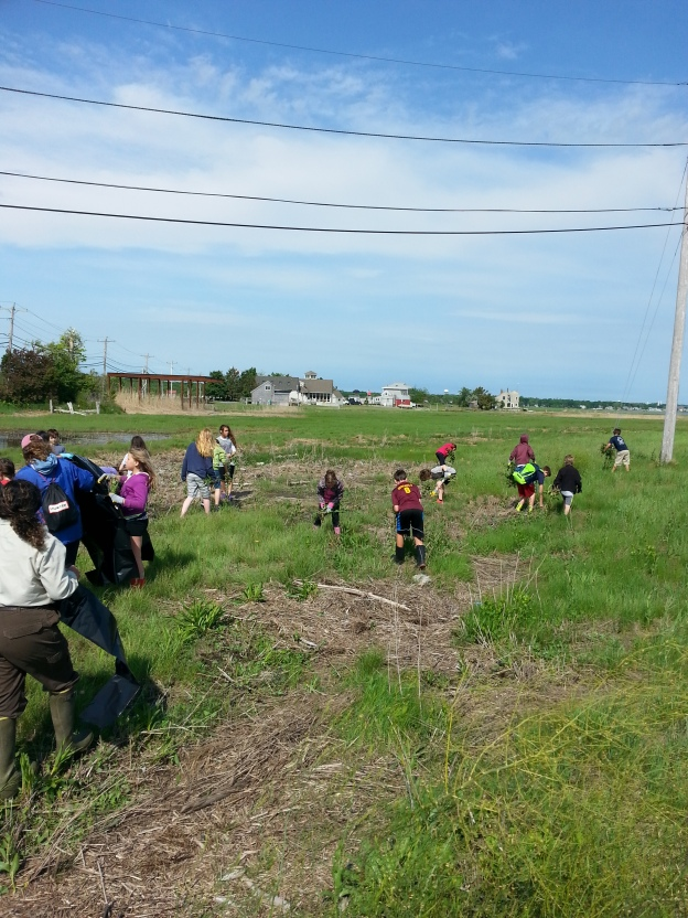 This summer, 4th through 6th graders from the River Valley Charter School help pull invasive pepperweed plants from the salt marsh at Parker River National Wildlife Refuge in Newburyport, Massachusetts.