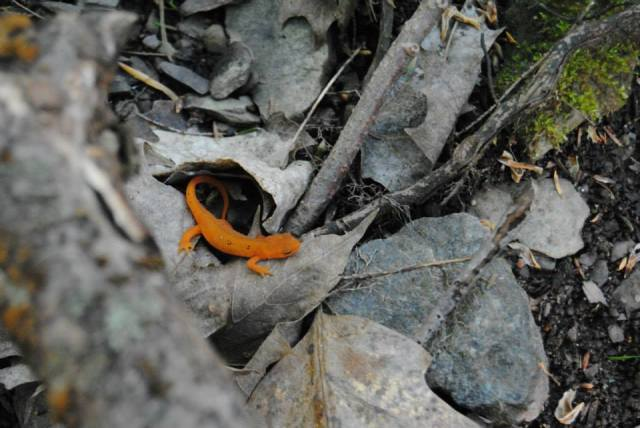 A red newt discovered in the leaf litter of the forest. Photo Credit: Beckie Anne