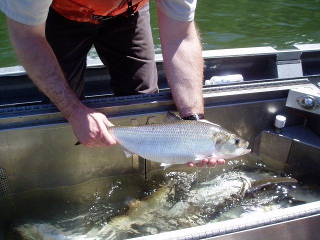 Fish biologist work with many aquatic species, including American shad. Photo credit: USFWS