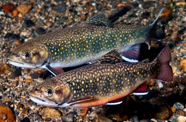 eastern-brook-trout-photo-credit-photo-credit-robert-s-michelson-of-photography-by-michelson-inc-brook-trout1