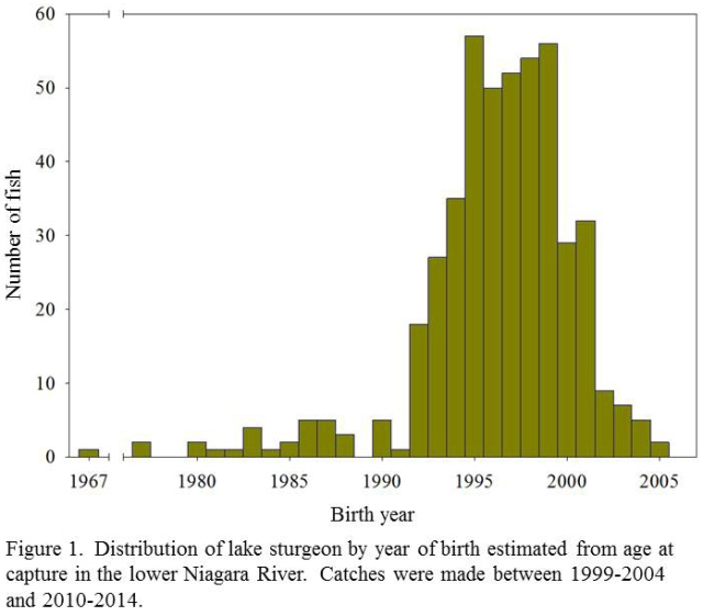 Figure 1. Age distribution of lake sturgeon - oldest fish born in 1967 (1)