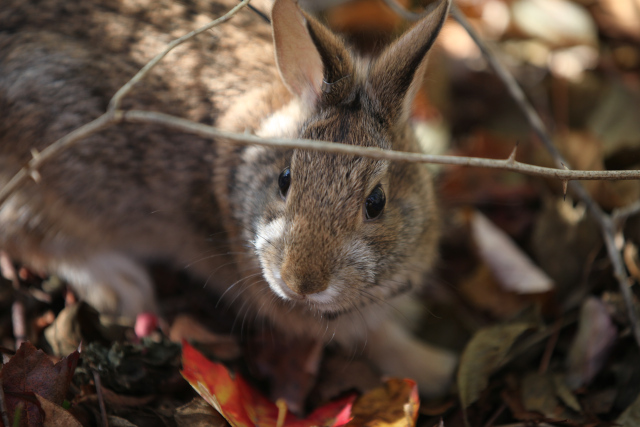 A New England cottontail in brushy shrubland. (Photo credit: Tom Barnes, USFWS.)