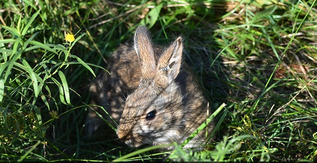 Thanks to a coordinated conservation effort that includes private landowners like Rick and Donna Ambrose, the New England cottontail is no longer a candidate for listing as a threatened or endangered species. (Photo credit: USFWS.)