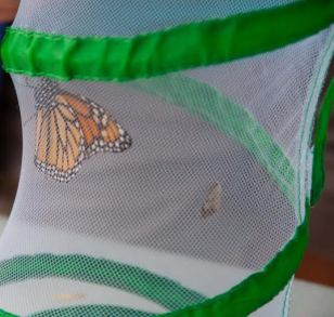 A monarch that was added to citizen science data! Photo Credit: Pat Venturino