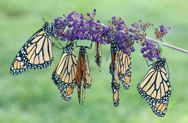 Monarchs feeding on nectar.