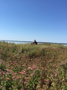 Bureau of Land Management Intern collecting Pluchea odorata (Sweetscent) at Edwin Forsythe National Wildlife Refuge, Galloway, NJ